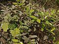 Kunta Nerale (Kannada- ಕುಂಟ ನೇರಳೆ) (5600693896).jpg