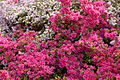 Kurume Azaleas - National Rhododendron Gardens, Olinda, Victoria Australia (6225530729).jpg