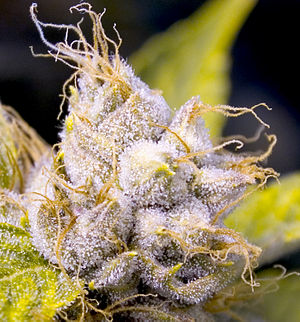Cannabis strains - A flowering cannabis plant