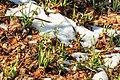 Kvetoucí sněženky v PP Sněženky ve Vysokém lese 45.jpg