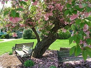 Elizabeth Park, Hartford - Image: Kwanzan Cherry Tree with benches, Elizabeth Park, West Hartford, CT May 12, 2013
