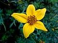 Kwiat - panoramio (2).jpg