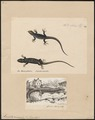 Lacerta muralis - 1700-1880 - Print - Iconographia Zoologica - Special Collections University of Amsterdam - UBA01 IZ12400079.tif