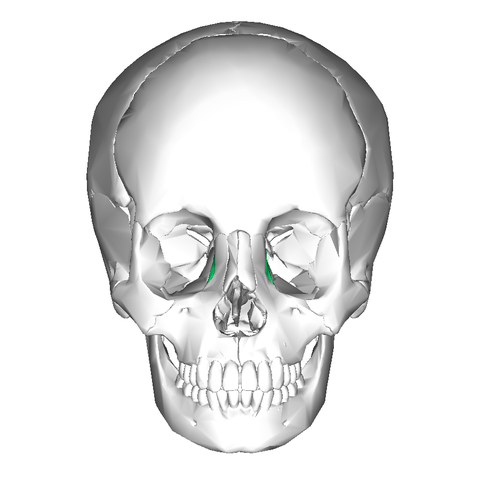 File:Lacrimal bone - anterior view.png - Wikimedia Commons
