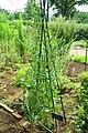 Lactuca serriola - Urban Greening Botanical Garden - Kiba Park - Koto, Tokyo, Japan - DSC05344.jpg