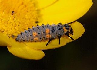 Lienka sedembodková (Coccinella septempunctata) - larva