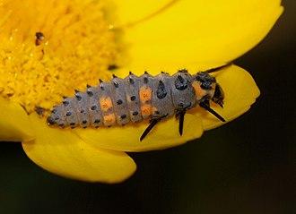 Coccinella septempunctata - A larva of C. septempunctata