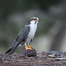 Classic plumage of adult laggar Falcon, very plain whitish underparts, thin dark contrasting moustachial stripe, slight reddish head and bluish/gray Upperparts. Bare parts darker yellow.