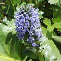 Lagotis glauca (flower).JPG