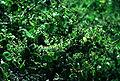 Laguncularia racemosa1.jpg
