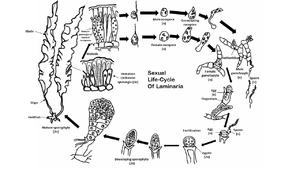 Laminaria - The sexual life cycle of Laminaria