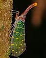 Lantern Bug (Laternaria intricata) (22808649939).jpg