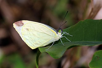 Nepheronia argia - Image: Large vagrant butterfly (Nepheronia argia varia) male