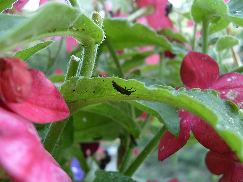 An unidentified coccinellidae larvae on a Nicotiana x (hybrid) leave.