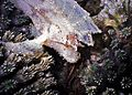 Leaf Scorpionfish Taenianotus triacanthus (7963299520).jpg