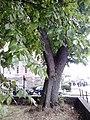 Leaves & bark of Ulmus x hollandica, Gayfield Square, Edinburgh.jpg