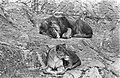 Leeuwentuin in Arnhem. Het leeuwenechtpaar huist nog in de tuin zelf, Bestanddeelnr 921-2133.jpg