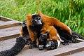 Lemur (26992296598).jpg