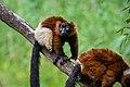 Lemur (36446007412).jpg