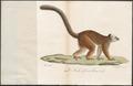Lemur albifrons - 1818-1842 - Print - Iconographia Zoologica - Special Collections University of Amsterdam - UBA01 IZ19700057.tif