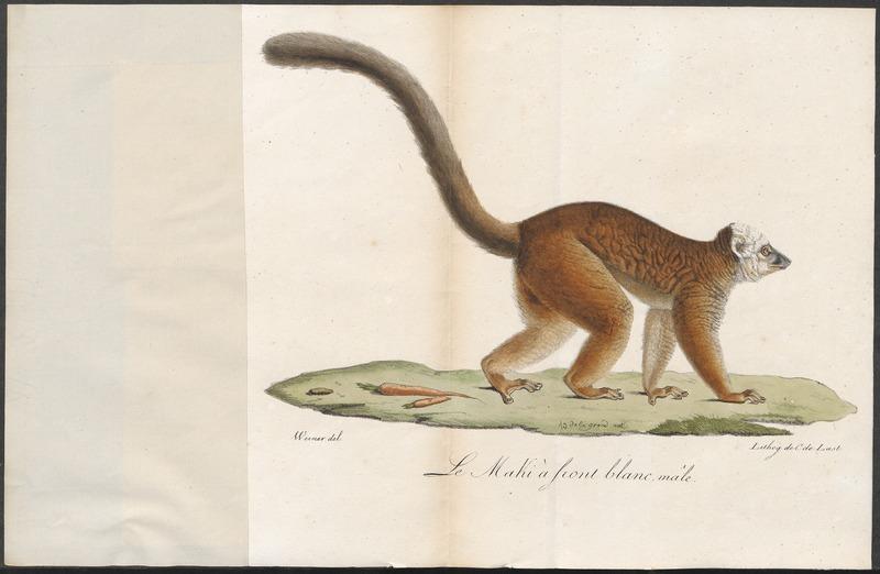 File:Lemur albifrons - 1818-1842 - Print - Iconographia Zoologica - Special Collections University of Amsterdam - UBA01 IZ19700057.tif