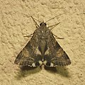Lepidoptera (15884287757).jpg