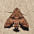 Lepidoptera (16040851490).jpg