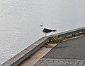 Lesser Black-backed Gull (Larus fuscus) - Oslo, Norway 2020-09-16.jpg