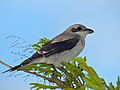 Lesser Grey Shrike (Lanius minor) juvenile (14030798652).jpg