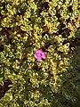 Leucophyllum frutescens by Prahlad balaji 2.jpg