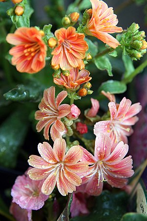 Lewisia - Cultivated Lewisia cotyledon
