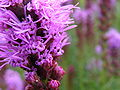 Liatris spicata close-up.jpg