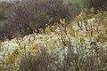 Lichen dans les myrtilles.jpg