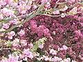 Light and dark pink blossom, Hanger Vale Lane - geograph.org.uk - 1840001.jpg