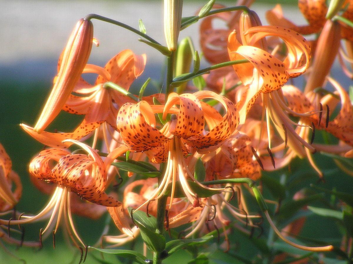 Lilium lancifolium wikidata izmirmasajfo