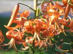 Lilium lancifolium.jpeg