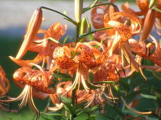VƯỜN CÂY HOA ĐV I - Page 22 320px-Lilium_lancifolium