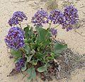 Limonium californicum-- Sea Lavander (27289258654).jpg