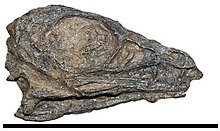 Photograph of the skull of a juvenile Limusaurus