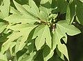 Lindera triloba (fruits s17).jpg