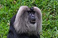 Lion Tailed Macaque.jpeg