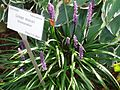 Liriope muscari moneymaker.JPG