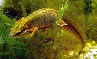 Mlok bodkovaný (lat. Lissotriton vulgaris) - samička