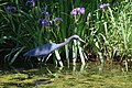 Little Blue Heron (34700281706).jpg