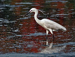 Little Egret (Egretta garzetta)- In Breeding plumage-actively catching prey in Kolkata I IMG 7991.jpg