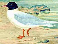 Littlegull75