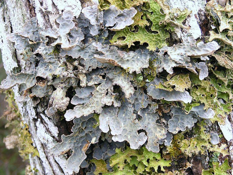 Lobaria scrobiculata R1.jpg