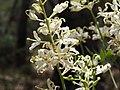 Lomatia silaifolia flower detail.jpg