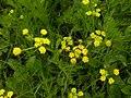 Lomatium bradshawii 2.jpg