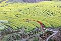 Longquan rapeseed fields.jpg